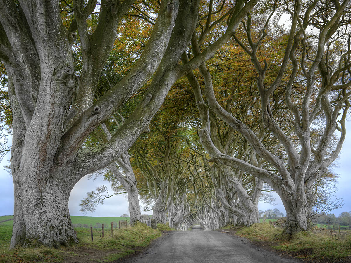 Dark Hedges bei Tag