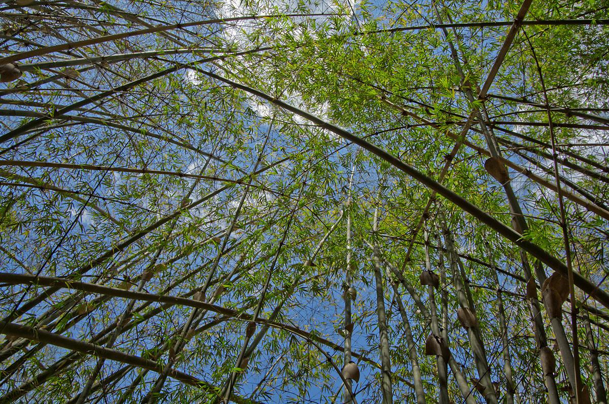 20110417_bambus_cuba